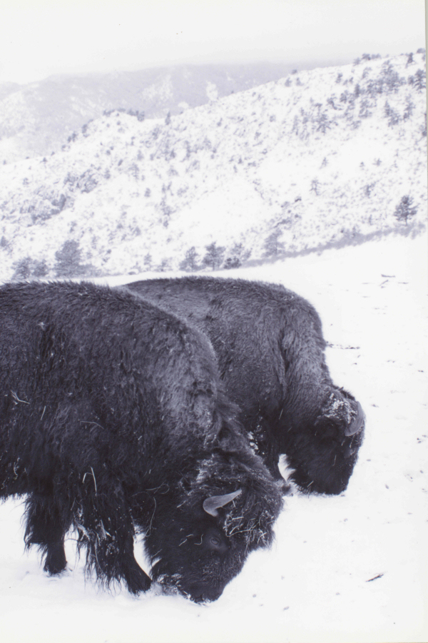 Image 2: Blue Mountain Bison Ranch