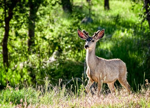 Image 3: Mule Deer at Carter Lake by Walt Hubis