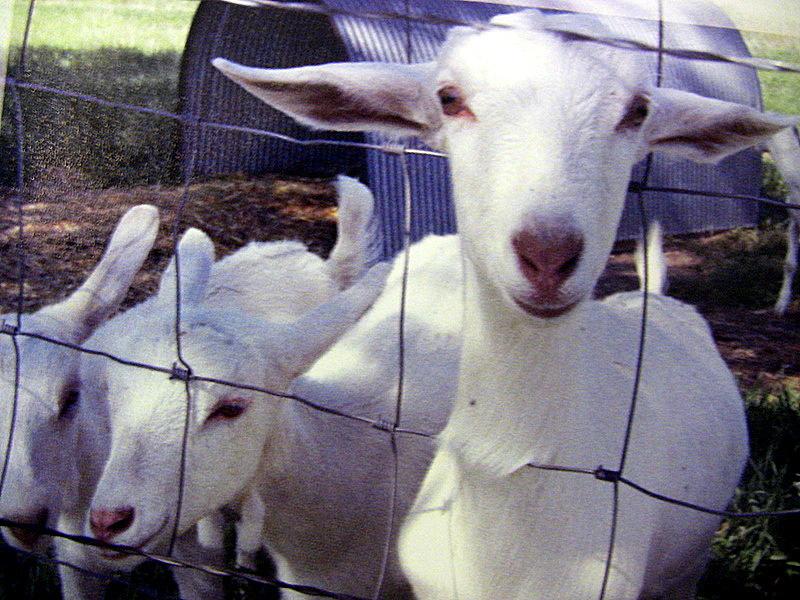 Urban Ag / Keeping of Animals & Livestock link