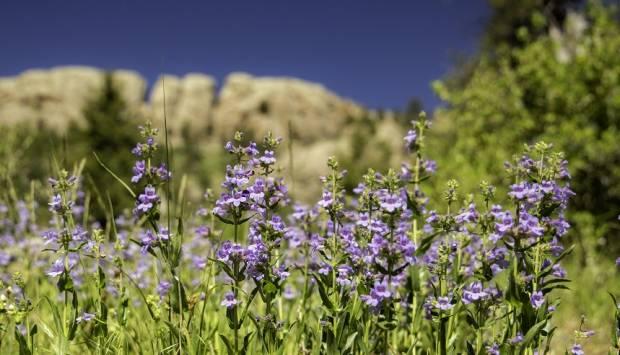 Flores silvestres nativas de Larimer County Horsetooth Rock