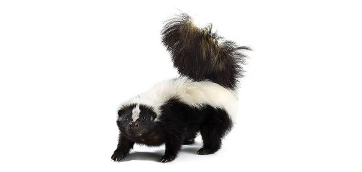 First Rabid Skunk in Larimer County in 2018