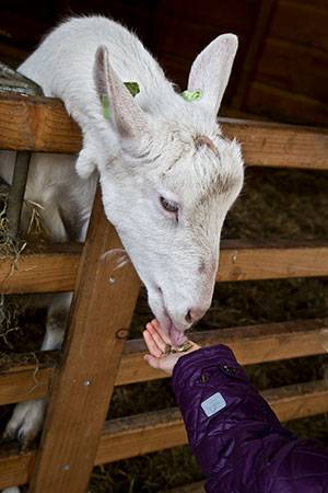 Goat eating from kids hand